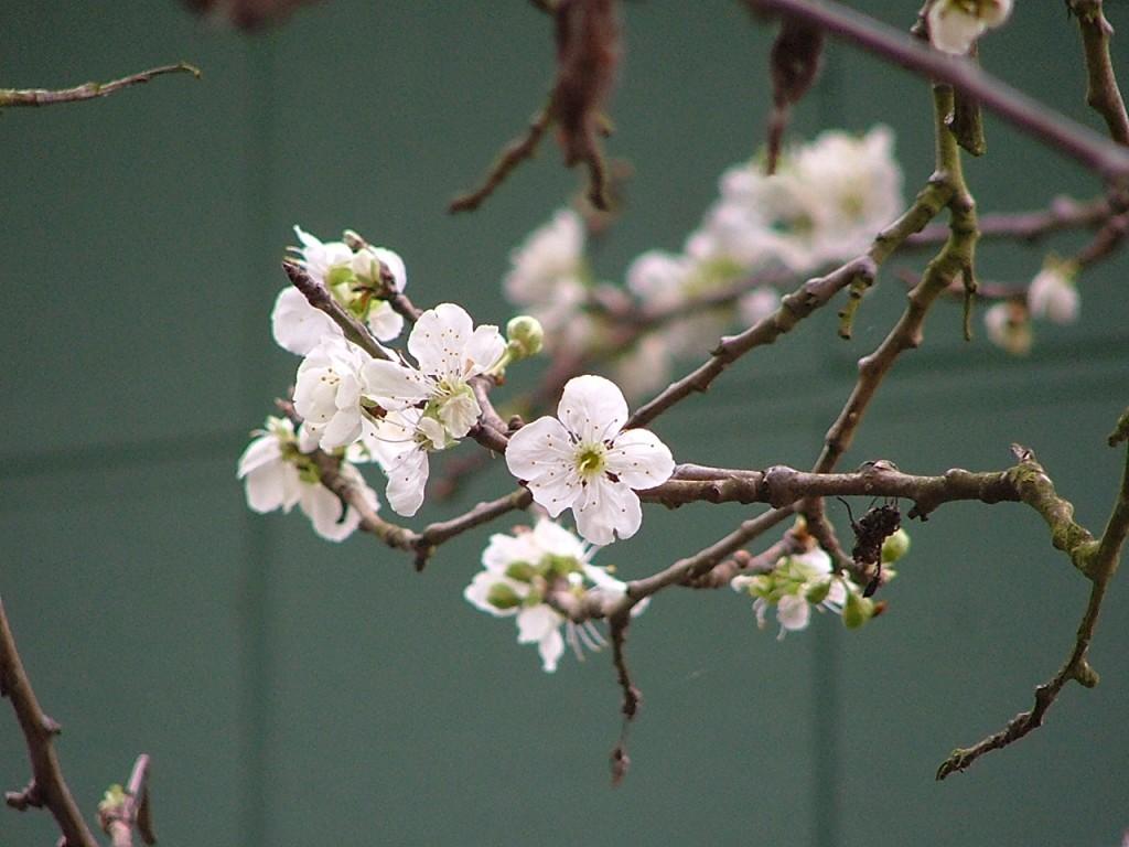 04 Flowers & Cherries April 2006 010