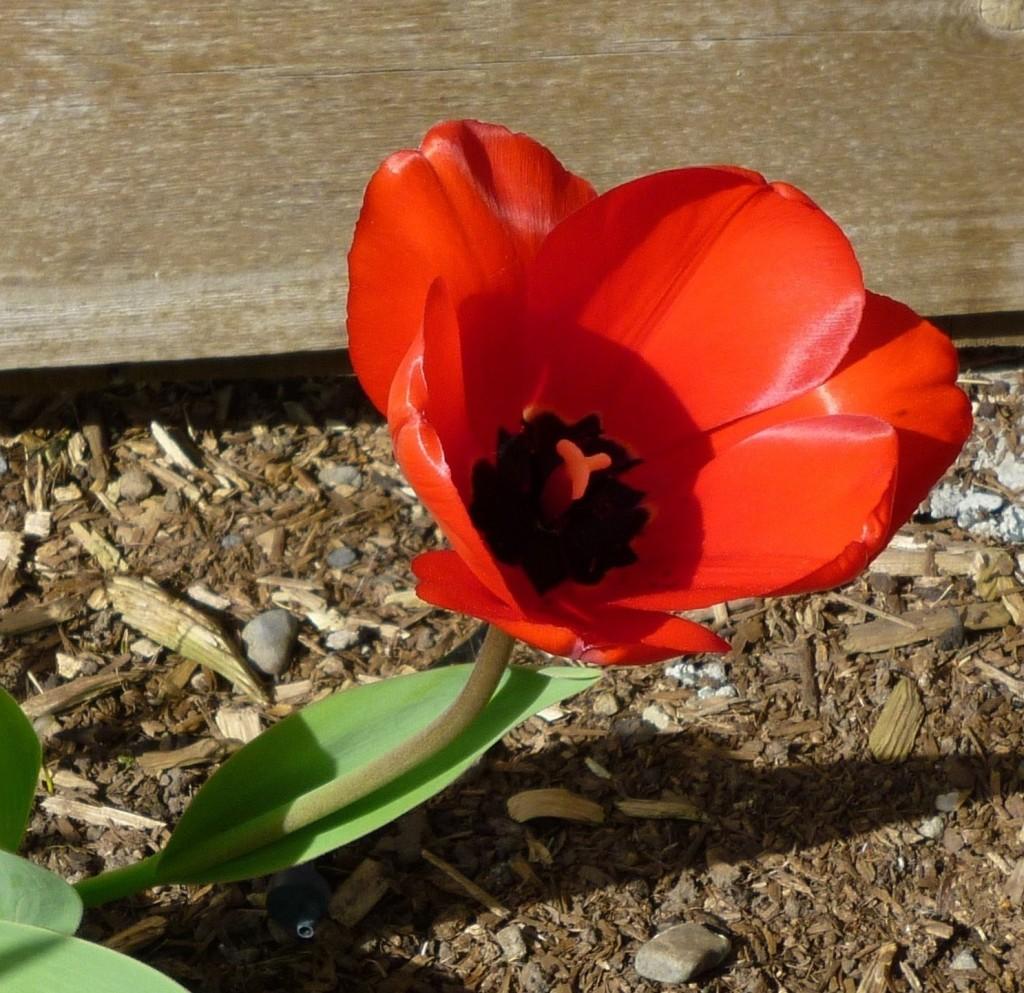 tulip 14 P1030704