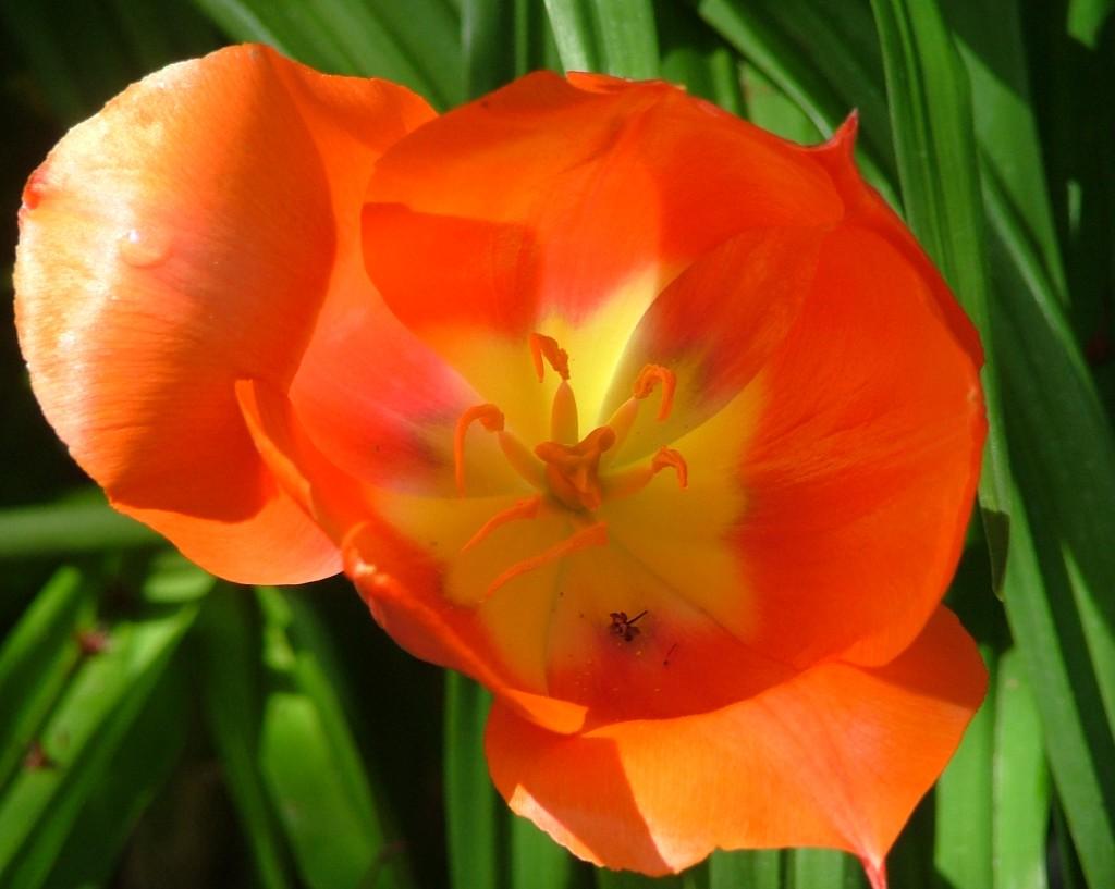 tulip 17 DSCF2851