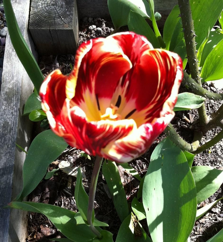 tulip 19 IMG_2832