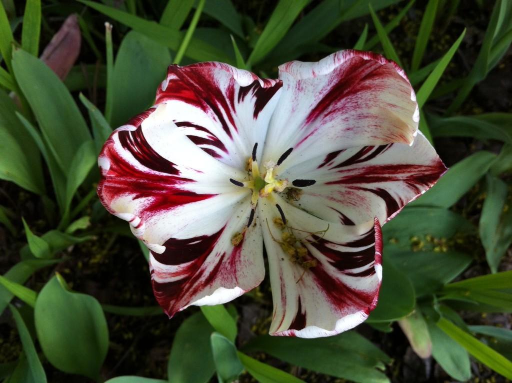 tulip 2 BLOG