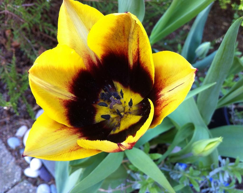 tulip 21 IMG_6882