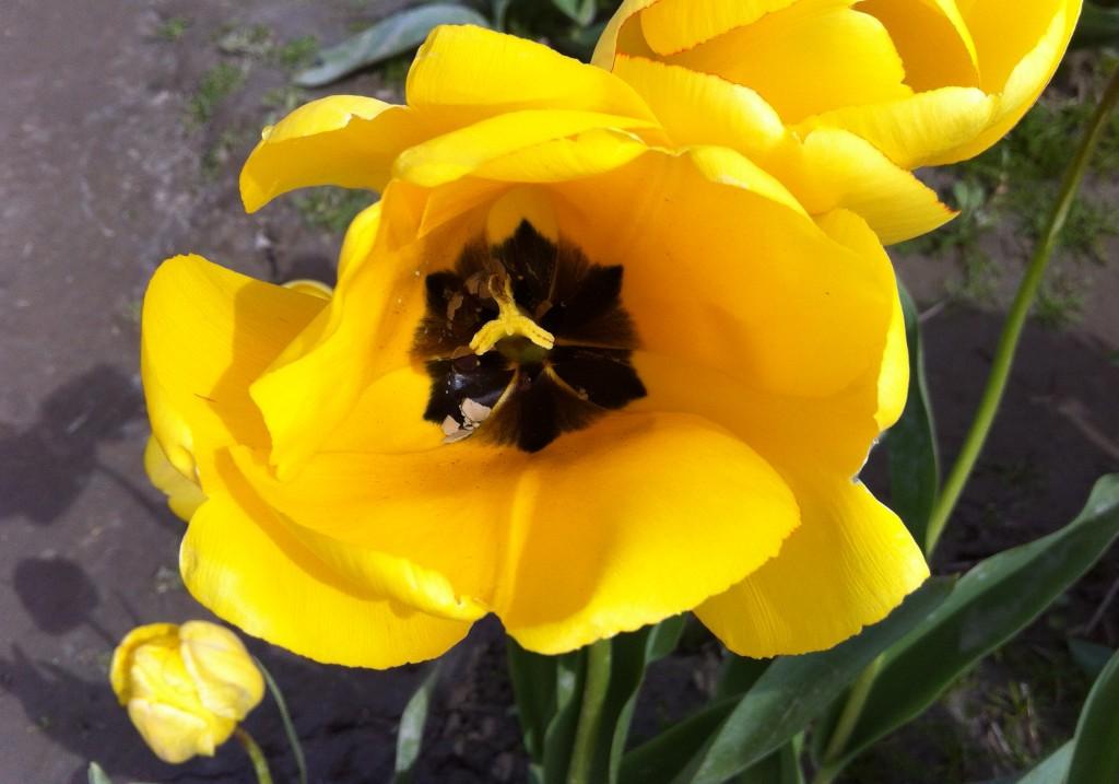 tulip 22 IMG_4685