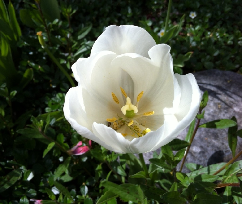 tulip 3 BLOG