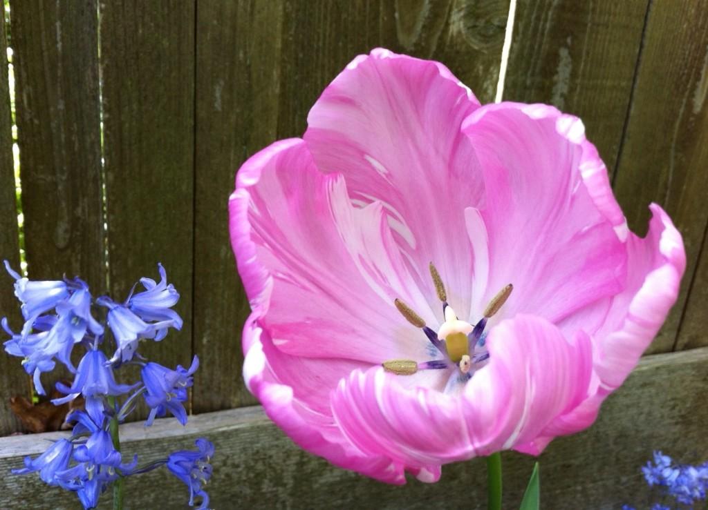 tulip 8 BLOG